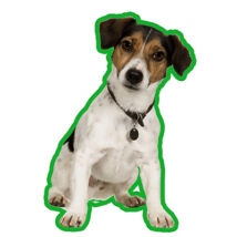 Jack Russell-terrier  - Tri color