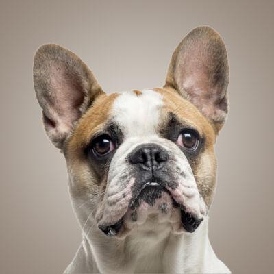 3D Francia Bulldog mintás táska - tri color 3