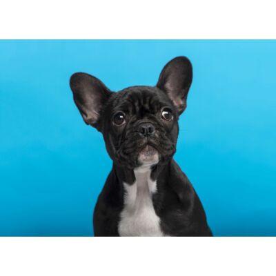 Francia Bulldog mintás törölköző 6 (50*70 cm)