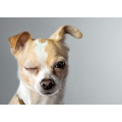 Chihuahua mintás törölköző