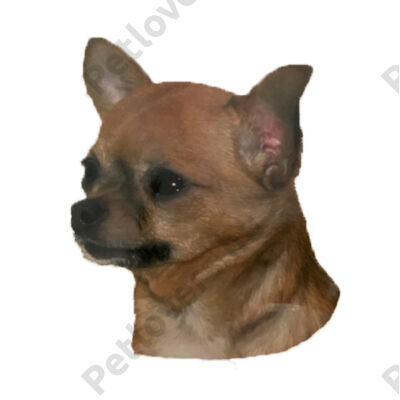 Chihuahua matrica 2