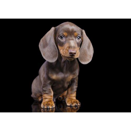 Tacskó mintás törölköző puppy