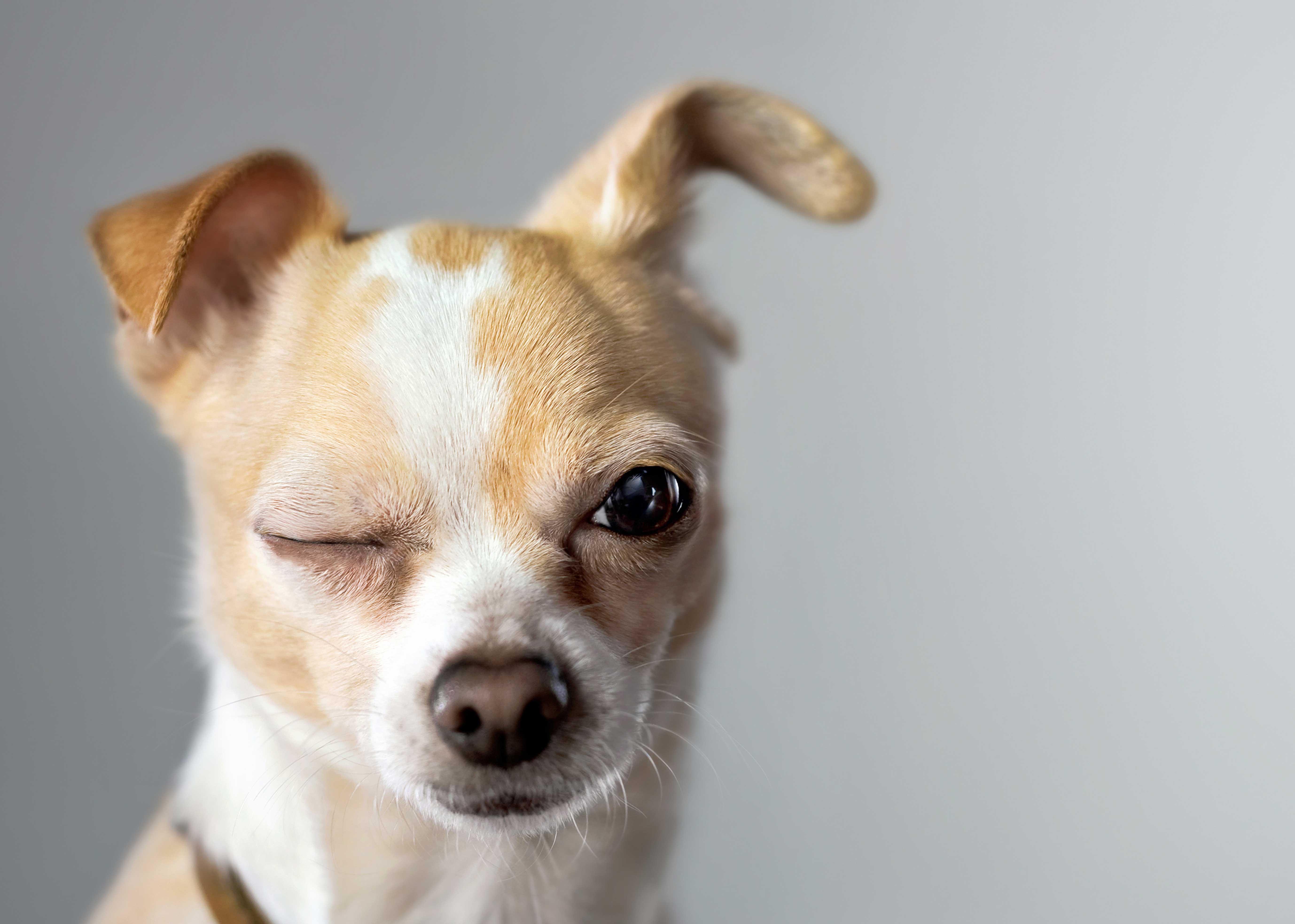 Chihuahua ágytakaró - Kutyás ágytakaró - Egyedi kutyás e290b65028