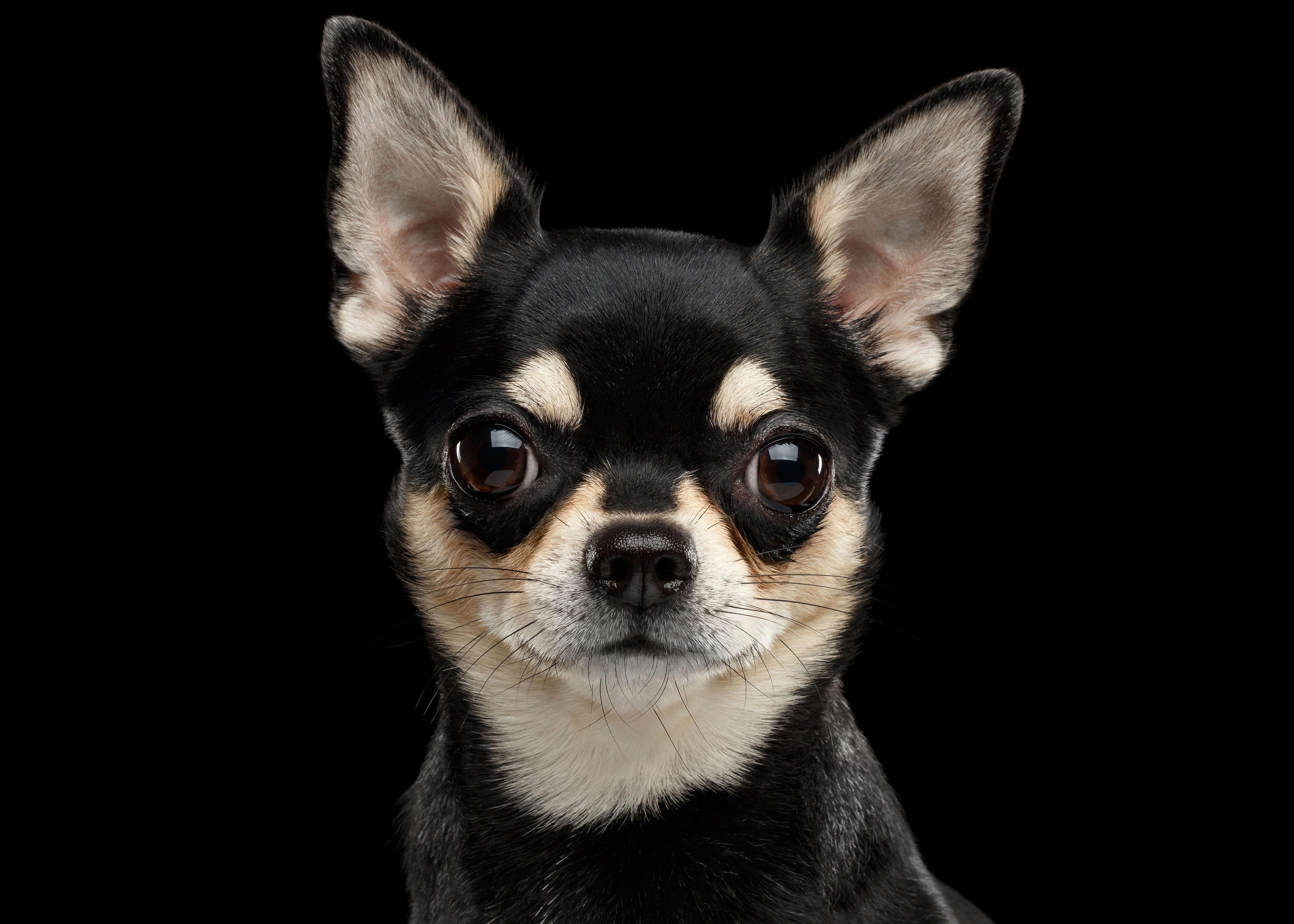 Chihuahua ágytakaró 3 - Kutyás ágytakaró - Egyedi kutyás b90ab91b71